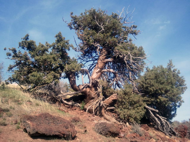 Twisted Juniper, Pilot Butte